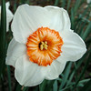 Narzisse (Gertrud K.) Tags: flowers orange white macro narcissus amaryllidaceae