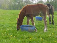Dandelion darlings (zenera) Tags: ranch family friends portrait horses green love grass happy lumix hope spring peace farm zenfli panasonic fields iloveyou stud dandelions foals