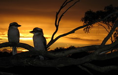 Time to say goodnight (robbiesydney) Tags: sunset bird topf75 sensational kookaburra otw mywinners worldbest platinumphoto bestofaustralia theunforgettablepictures concordians fbdg theperfectphotographer internationalgeographic thesuperbmasterpiece rubyphotographer vosplusbellesphotos paololivornosfriends dragondaggerphoto theamazingphotogroup