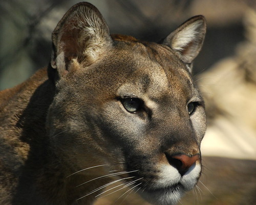 Kane County Cougar