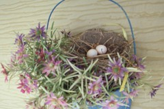 Mourning Dove twin eggs