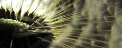 Taraxacum Dandelion | damncool supermacro - crop of the crop (eagle1effi) Tags: macro nature backlight trimmed details fine dandelion foliage selected april cropped supermacro 2009 finds myfave picnik ausschnitt damncool taraxacum lwenzahn pusteblume dentdelion straightoutofthecamera canonmacro straightfromthecamera 2mb sooc abigfave eagle1effi zugeschnitten naturemasterclass sfcam yourbestoftoday canonpowershotsx1is sx1best ledlenserp7 bycamera sx1isbest supermacroon2