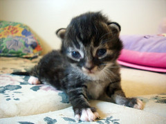 Storm (OpticalGlee) Tags: pet baby storm cute animal cat kitten feline xmen