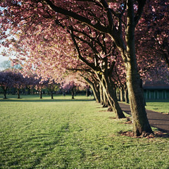 First Rays in The Meadows (jamalrob) Tags: film zeiss cherry edinburgh blossom kodak meadows jena website carl medium format pentacon six 160vc portra vc 160 80mm biometar