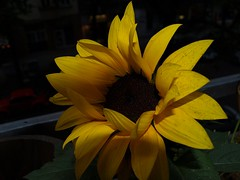 Sunshadow Sunflower