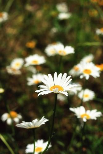 daisies1
