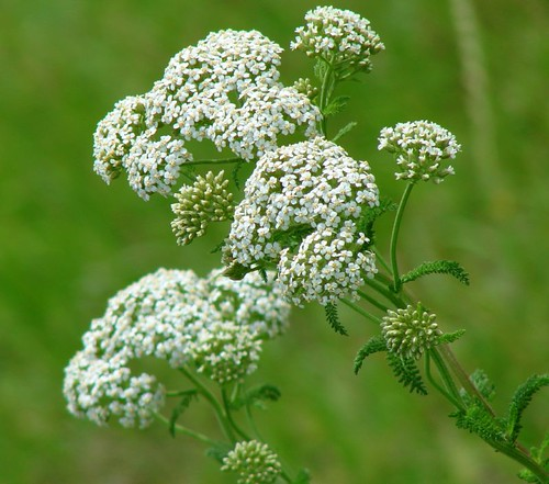 Texas Queen Anne's Lace
