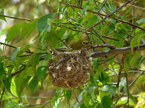 Nesting Japanese White-eye (Zosterops japonicus) - 綠繡眼
