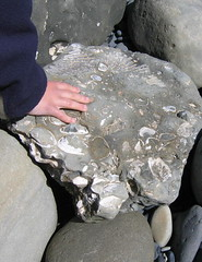 S with a fossil encrusted rock