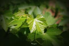vine (Maryam.Fard) Tags: green canon iran vine tehran  karaj      450d  platinumheartaward vineyerd