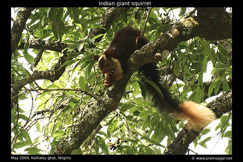 Indian giant squirrel 1