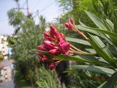 Buds of 'Hardy Red' Oleander- Rakta karabi (H G M) Tags: red oleander poisonous kaner neriumoleander karabi raktakarabi hgmphotostream karavira hgmukhopadhyay