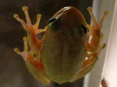 frog (GeoScience/Michelle Harrison) Tags: wet sticky frog tiny slimy