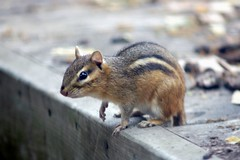 srsly? (dan [durango99]) Tags: sorry with minolta shots cant more chipmunk beercan be critters these cuteness posting overload 70210 helped overrun succumbing