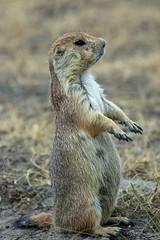 Prairie Dog Lookout (Jeff Kreulen) Tags: nature montana nikond70 wildlife prairiedog