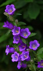 Campanula Sabatia (bormanus_sv) Tags: liguria fiori viola campanule campanelle spontanei