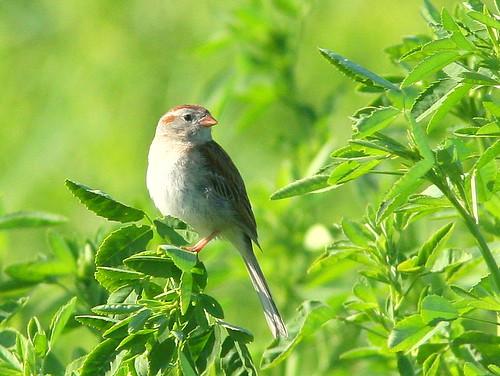 Field Sparrow 20090605