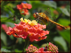 Full Color ~ [Explored] (R@P = RAPALON (New Logo)) Tags: red naturaleza flower macro verde green nature argentina yellow closeup rojo buenosaires dragonfly bokeh flor explore amarillo libelula lantana reserva caba ecologica