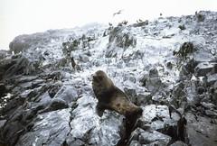 880202 Fur Seal (rona.h) Tags: island anvers antarctic cloudnine furseal palmerstation ronah vancouver27 bowman57