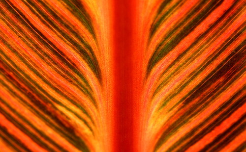 Canna Leaf Abstract. (Kodak Ektachrome E100VS. Nikon F100. Epson V500.)