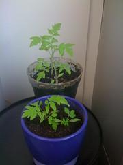 Plants de tomate #4