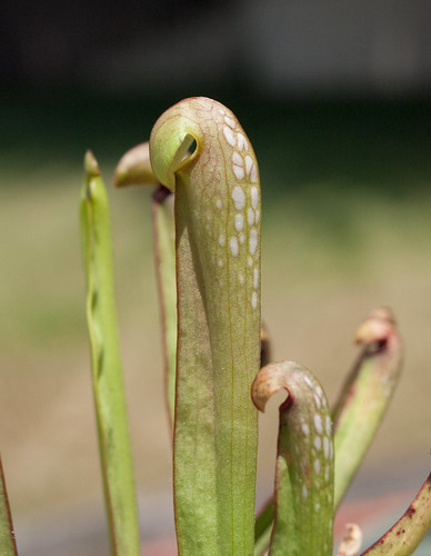 Sarracenia Minor: The Hooded Pitcher Plant