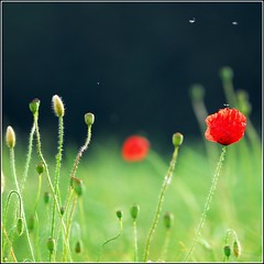 poppy evening part II (kubse) Tags: summer color nature field evening bokeh oberbayern naturesfinest mywinners theunforgettablepictures