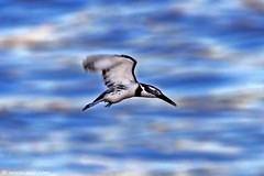 Speed bird Pied Kingfisher (xnir) Tags: bird 20d nature speed canon eos israel wildlife kingfisher pied nir  100400l benyosef 100400 xnir  photoxnirgmailcom