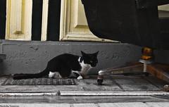 (Konstantinos Vasiliadis) Tags: bw cats white animals yellow contrast cat blackwhite eyes chair colours ground olympus greece 1745 e420