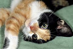 001408 D 300 (Massimo Marchina) Tags: italy animals cat italia gato katze gatto vicenza veneto mimì afmicronikkor105mm128d giornomese