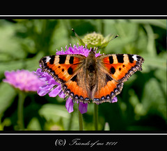 butterfly and the flower (drbob97) Tags: friends orange flower green me netherlands gardens canon butterfly garden botanical fly wings utrecht groen close purple 100mm tuin oranje vlinder uithof bloem drbob utreg 40d friendsofme lserie drbob97