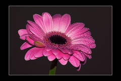 pink gerbera droplets (Carl Scott) Tags: pink friends water droplets gerbera asteraceae gerber traugott mutisioideae mutisieae aplusphoto traugottgerber citrit theunforgettablepictures goldstaraward flickrbestpics photographersworldbestfriends blinkagain