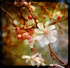 Blossom, Rain and Spring (Ekler) Tags: new music white flower macro tree classic texture nature vintage season cherry photo spring flora poem branch blossom picture pic drop fresh petal droplet classical delicate pure aftertherain tender vivaldi evolt fragil ekler oldschooldigital olympuse410 soloha