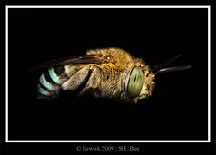 6.3 Bee ... BIF ??? ... (liewwk - www.liewwkphoto.com) Tags: park family blue wild plants plant macro green nature animal closeup fauna canon bug garden insect grey fly flying leaf flora natural outdoor wildlife insects bee foliage flowering nectar pollen wilderness lineage banded diptera mpe65 newvision apoidea stingless spinghill 50d amegilla canon50d anthophoridae cingulata monophyletic mpe65macro insectpollinated peregrino27newvision