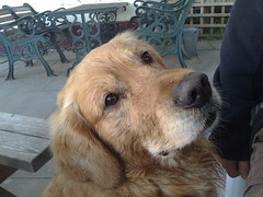 Buddy (alienorders) Tags: goldenretriever dunkeld taybank
