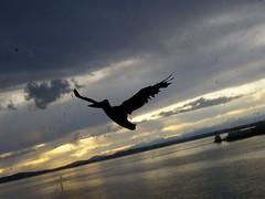 Newly Freed Windowzoo Pelican (liquidnight) Tags: seattle sunset sky streetart water birds silhouette clouds project pier twilight stickers pelican international pugetsound decal seabirds communityart ephemeralart windowzoo