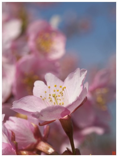 Cherry blossoms 090305 #13