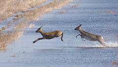 Rehe, Roe deer, Capreolus capreolus (Andreas Gruber) Tags: water wildlife mammals roedeer rehe capreoluscapreolus