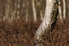 Birch I (derScheuch) Tags: brown tree nature beauty landscape deutschland dof minolta natur beercan 7d birch dynax moor landschaft deu oldenburg niedersachsen edewecht wildenloh hausbkenniederung derscheuch