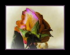 cadrageRIMG0021-2 (claudedelrieu21) Tags: macro fleur rose rouge photography amazing fabulous paysage finest pictureperfect damncool smorgasbord masterclass miltoniopsis blueribbonwinner encarnado supershot amazingtalent amazingshot flowerotica fantasticflower fineartphotos abigfave nikoniste platinumphoto anawesomeshot impressedbeauty flickrbest flickrplatinum ultimatshot superbmasterpiece naturefinest infinestyle diamondclassphotographer flickrdiamond ysplix ilovemypic flickrelite theunforgettablepictures masterphoto overtheexcellence macromix queenrose excellentphotgrapherawards theperfectphotographer floweria goldstaraward naturemasterclass macroflowerlovers montijoverdeamarelo excellentsflowers top20vivid superbmacroflowers natureselegantshots natureelegantshots thepoweroftheflower auniverseofflowers awesomeblossoms vosplusbellesphotos goldenvisions