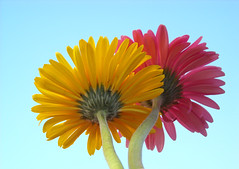 Yellow and Pink (juli~aeris) Tags: pink sky flower color fleur yellow closeup contrast petals colorful angle flor perspective gerbera
