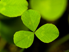 Young Clover (jciv) Tags: desktop wallpaper macro green clover shamrock stpatricksday raynox 430ex file:name=img1275