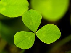 Young Clover (jciv) Tags: desktop wallpaper macro green clover shamrock stpatricksday raynox 430ex file:name=img1275