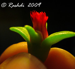 Enlightened Flower (Rashdi) Tags: flower macro karachi mywinners impressedbeauty abovealltherest enligtened