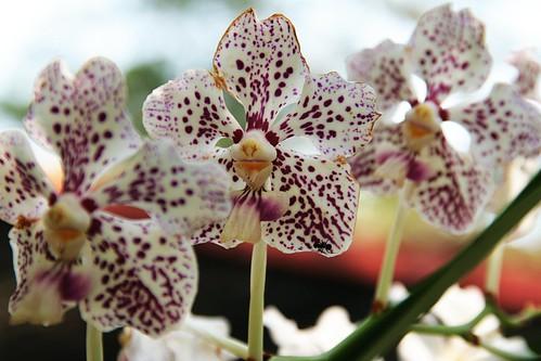 nature flowers orquideas rose Vande