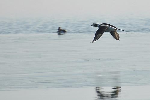 Long Tail Duck in flight