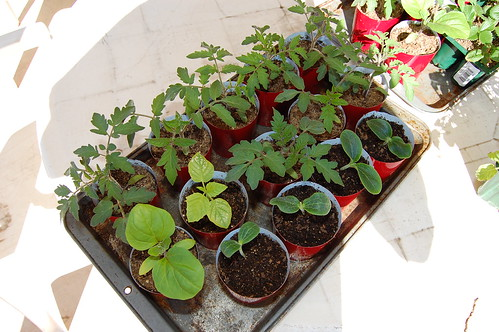 garden transplants