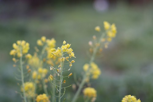 Spring Mustard