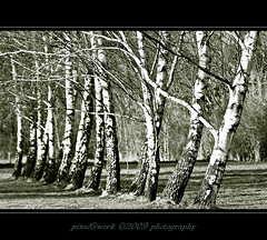 ... birches ... (oliver's | photography) Tags: trees nature photoshop canon eos yahoo google amazing flickr raw image  adobe birch birke lightroom copyrighted natureshot blueribbonwinner aworkofart beautysecret beautifulshot pixelwork 500px canoneos50d anawesomeshot colorphotoaward aplusphoto betterthangood thelightpainterssociety naturescreations sigma70200mmex28dgmacrohsmii pixelwork09photography expressyourselfaward oliverhoell theacademytreealley allphotoscopyrighted