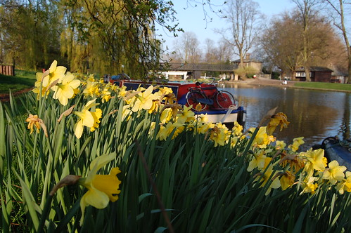 River Cam daffodils